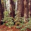 A Cluster of Redwoods